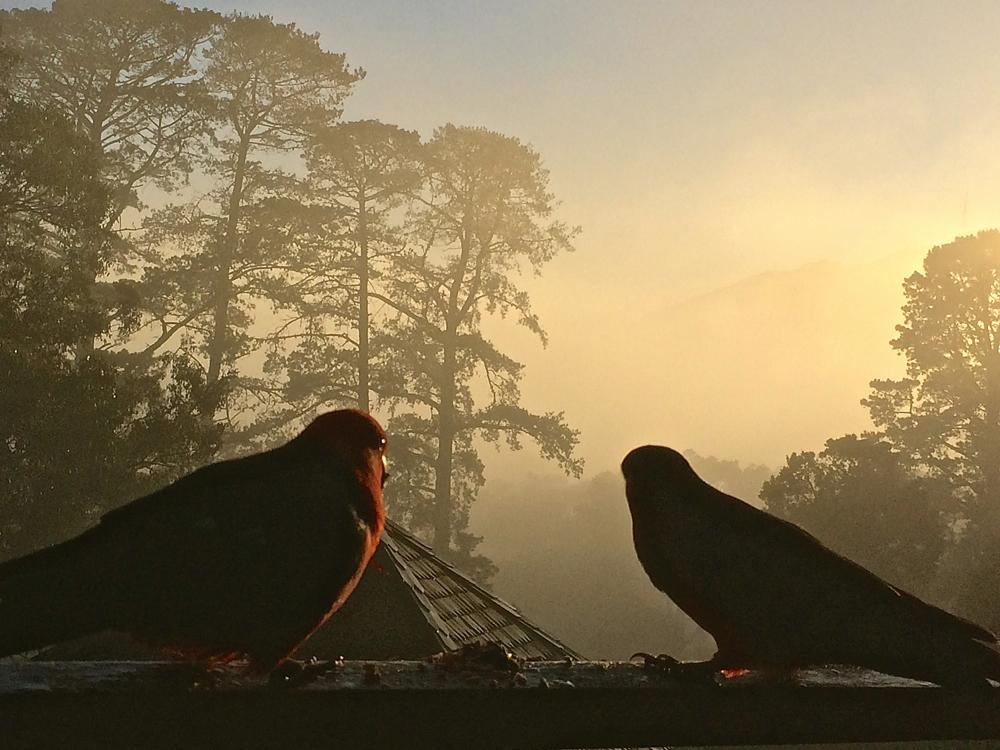 King Parrots July 23
