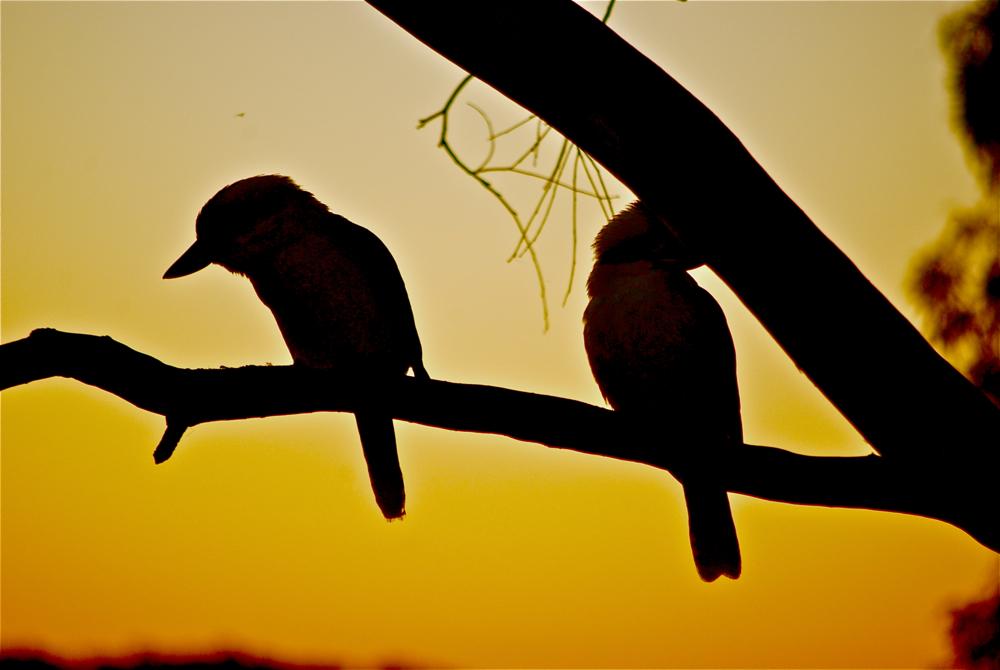 Kookaburras Hamilton Island
